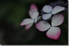 20120715高野山紫陽花