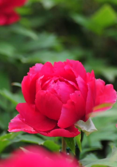 20110426牡丹の花.jpg
