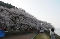 湖岸桜.jpg
