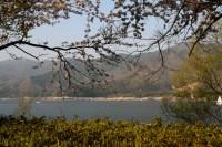 湖岸桜遠景.jpg