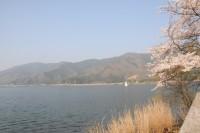 湖岸桜遠景2.jpg